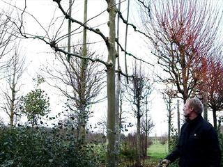Formation d'un arbre palissé