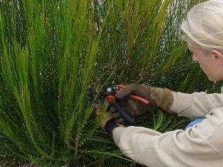 Février: la taille d'entretien des arbustes d'ornement