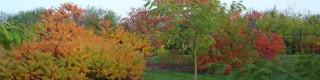 Octobre: les arbres d'ornement à belle coloration automnale