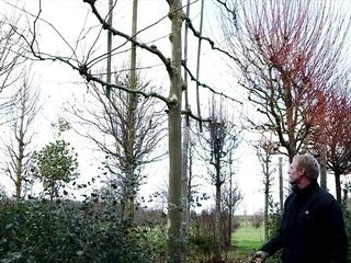 La formation d'un arbre palissé