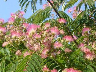 Septembre: les arbres d'ornement pour les petits jardins