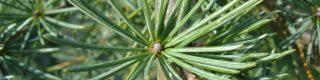 Août: les arbres d'ornement adaptés au changement climatique