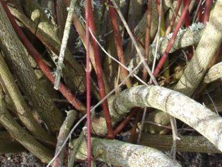 Architecture et représentation schématique des arbustes