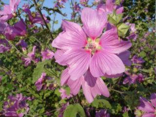Les lavatères seront en fleurs en mai