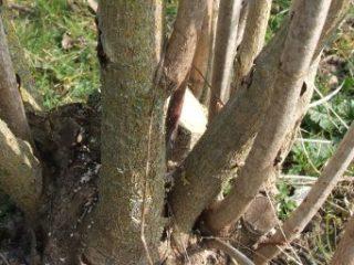 La taille raisonnée des arbustes d'ornement