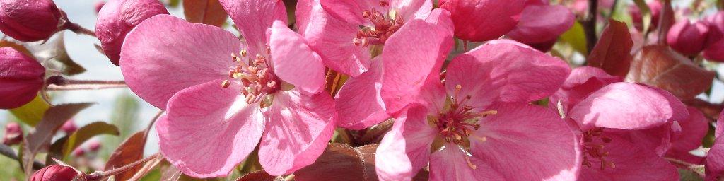 Avril: les arbres d'ornement à floraison printanière (pommiers, robiniers, etc.)