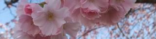 Mars: les arbres d'ornement à floraison printanière (magnolias, cerisiers, etc.)